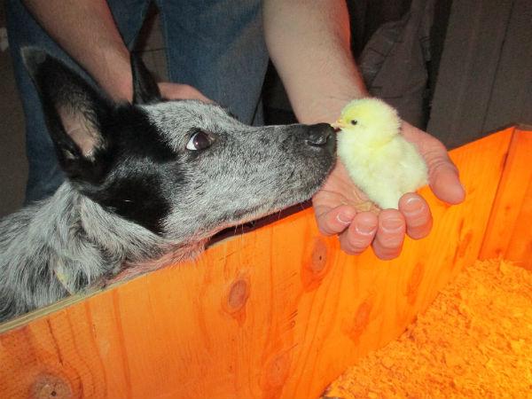 Bringing Chicks Home