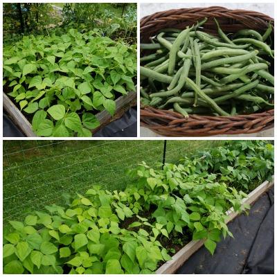 Green Beans August